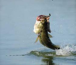 Large Mouth bass being pulled out of water