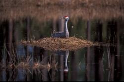 sandhill crane nest on pond